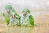 Monk Parakeet (Myiopsitta monachus) — Stock Photo