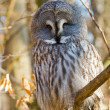 Great Grey Owl or Lapland Owl (Strix nebulosa) — Stock Photo