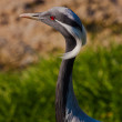 Demoiselle Crane (Anthropoides virgo) — Stock Photo