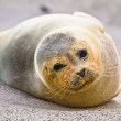 Harbor seal (Phoca vitulina vitulina) - Stock Photo
