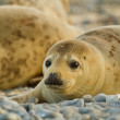 Grey seal (Halichoerus grypus) — Stock Photo #23943121