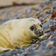 Grey seal (Halichoerus grypus) — Stock Photo #23949273