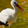 White Stork (Ciconia ciconia) — Stock Photo