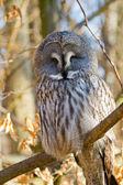 Great Grey Owl or Lapland Owl (Strix nebulosa) — Stock Photo