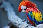 Scarlet Macaw (Ara macao) — Stock Photo
