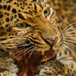 Northern Chinese leopard (Panthera pardus japonensis) — Stock Photo