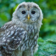 Ural Owl (Strix uralensis) — Stock Photo