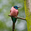 Northern Carmine Bee-eater (Merops nubicus) — Stock Photo