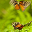 Tiger Longwing (Heliconius ismenius) — Stock Photo