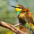 European Bee-eater (Merops apiaster) — Stock Photo