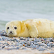 Grey seal (Halichoerus grypus) — Stock Photo #23965413