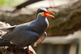 Inca Tern (Larosterna inca) — Stock Photo