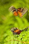 Tiger Longwing (Heliconius ismenius) — Stock Photo
