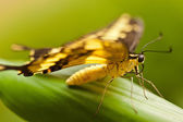 Thoas swallowtail (Papilio thoas) — Stock Photo