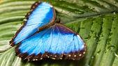 Peleides Blue Morpho (Morpho peleides) — Stock Photo