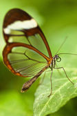 Glasswinged butterfly (Greta oto) — Stockfoto