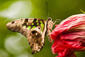 Tailed Jay (Graphium agamemnon) — Stock Photo