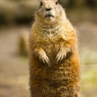 Black-tailed prairie dog (Cynomys ludovicianus) - Stock Photo