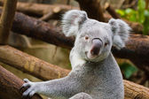 Koala (Phascolarctos cinereus) — Stock Photo
