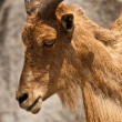 Barbary Sheep (Ammotragus lervia) — Stock Photo #32755451