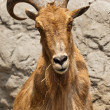 Stock Photo: Barbary Sheep (Ammotragus lervia)