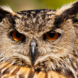 Eurasian Eagle-owl (Bubo bubo) — Stock Photo