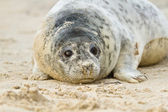 Grey seal (Halichoerus grypus) — Stock Photo