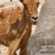 Barbary Sheep (Ammotragus lervia) — Stock Photo #32891483