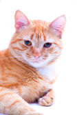 Ginger cat portrait studio isolated — Stock Photo