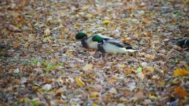 Ducks walking in forest — Stock Video