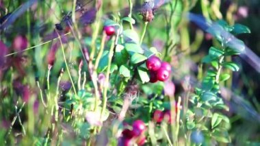 Cowberry bush — Stock Video