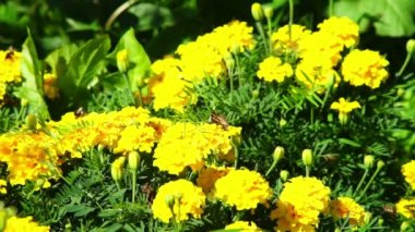 Butterfly on marigold flowers — Vídeo de Stock