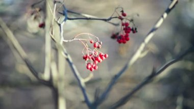 Tree with berries — Stock Video