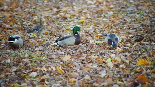 Canards en forêt — Vidéo