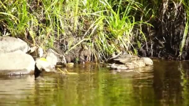 Canard de chasse — Vidéo