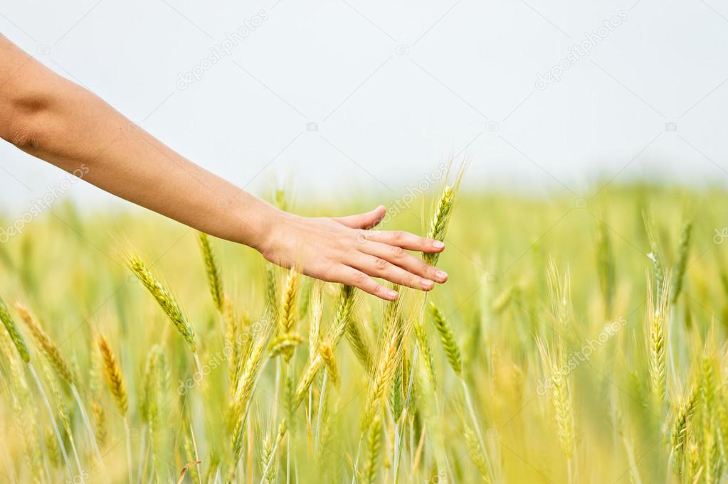 Wheat ears in the hand.Harvest  — Stock Photo #13546952
