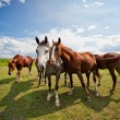 Foto Stock: Gather of four horses on farm