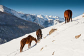 Horses grazing in the winter mountains  — Stock Photo