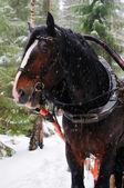 馬引っ張ら — ストック写真