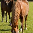 Young Thoroughbred Horse Grazing — Stock Photo #12660287