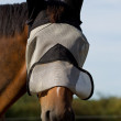 Thoroughbred Horse in a Fly Mask — Stock Photo