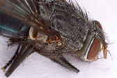 Housefly Head Macro — Stock Photo