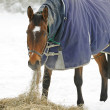 Thoroughbred Horse Eating Hay in Snow — Zdjęcie stockowe