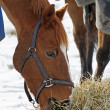 Horse Eating Hay in the Snow — Foto de Stock