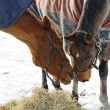 Horses Whispering — Stock Photo