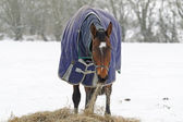 Thoroughbred Horse Eating Hay in Snow — Stock Photo