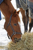 Horse Eating Hay in the Snow — Stock Photo