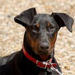 Portriat of a Young Doberman — Stock Photo
