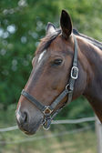 Thoroughbred Horse with Halter — Stock Photo