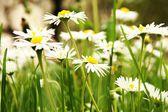 Witte camomiles op een groen veld — Stockfoto